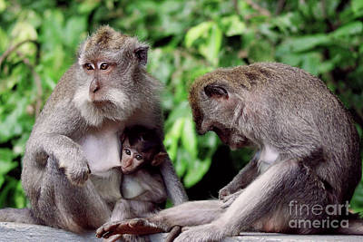 Photograph - Long Tailed Macaques  by Cassandra Buckley