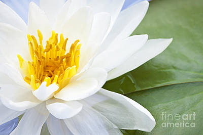 White Water Lilies Photograph - Lotus Flower by Elena Elisseeva