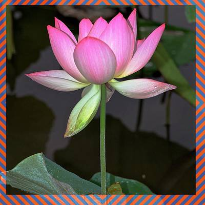 Photograph - Lotus  by Gini Moore
