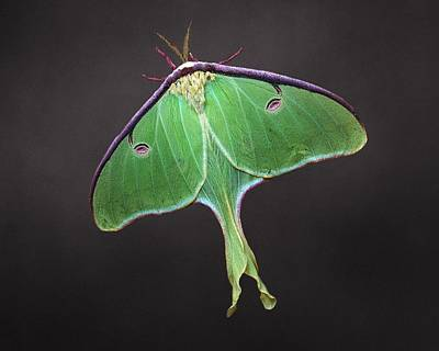 Photograph - Luna Moth by Joe Duket