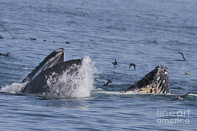 Photograph - Lunge-feeding Humpback Whales by California Views Mr Pat Hathaway Archives