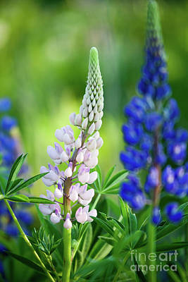 Photograph - Lupine by Kati Molin