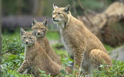 Cats Digital Art - Lynx by Super Lovely