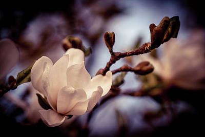 Photograph - Magnolia Flower by Lilia D