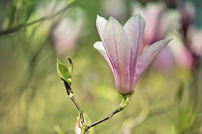 Royalty-Free and Rights-Managed Images - Magnolia by Nailia Schwarz