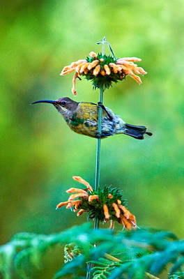 Malachite Photograph - Malachite Sunbird Nectarinia Famosa by Panoramic Images