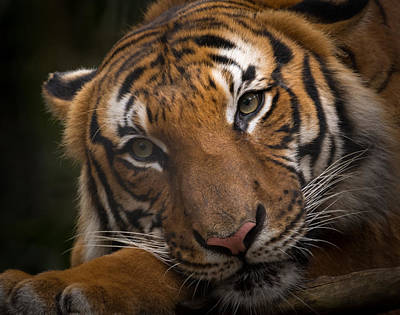 Photograph - Malayan Tiger by Bill Martin