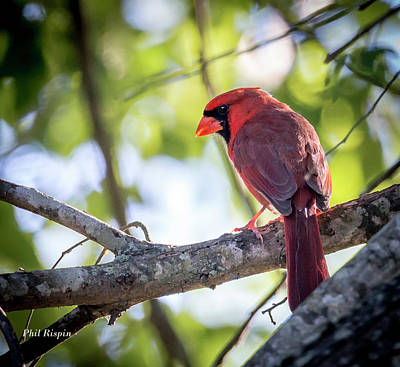 Photograph - Male Cardinal In A Tree by Phil Rispin