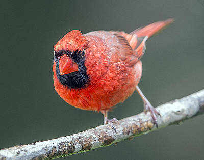 Photograph - Male Cardinal Portrait by William Bitman