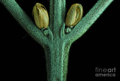 Photograph - Male Flower Of Cannabis Plant, Sem by Ted Kinsman