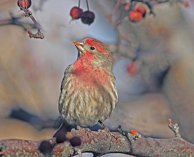 Tree Photograph - Male House Finch by Gary Wing