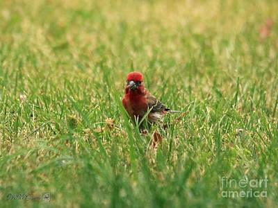Photograph - Male House Finch by J McCombie