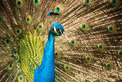 Photograph - Male Indian Peacock by Joye Ardyn Durham