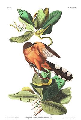 Cuckoo Wall Art - Painting - Mangrove Cuckoo by John James Audubon