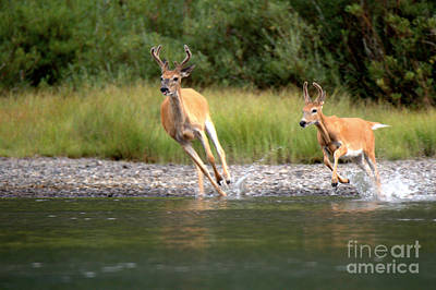 Photograph - 2 Many Glacier Deer by Adam Jewell