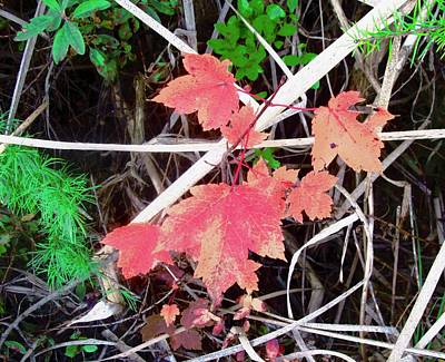 Photograph - Maple Leaves by Stephanie Moore