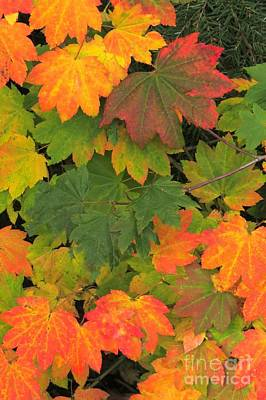 Photograph - Maple Mosaic by Frank Townsley