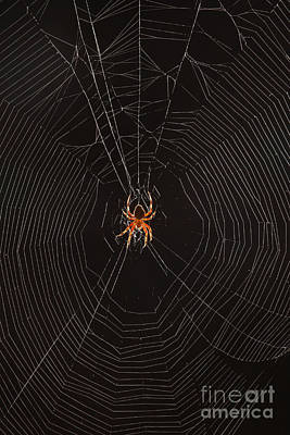 Marbled Orb Weaver Spider Art Print by Ted Kinsman