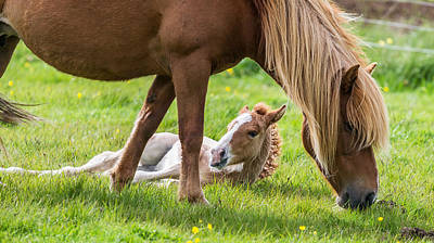 Icelandic Horse Photograph - Mare And New Born Foal, Iceland by Panoramic Images