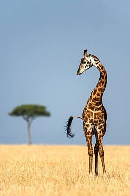 Front View Photograph - Masai Giraffe Giraffa Camelopardalis by Panoramic Images