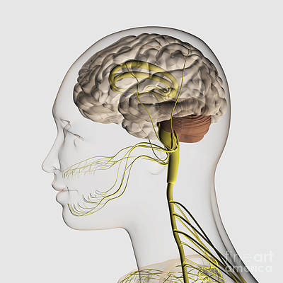 Human Brain Digital Art - Medical Illustration Of The Human by Stocktrek Images
