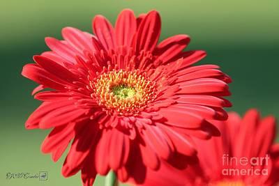Photograph - Mega Revolution Scarlet Red With Light Eye Gerbera Daisy by J McCombie