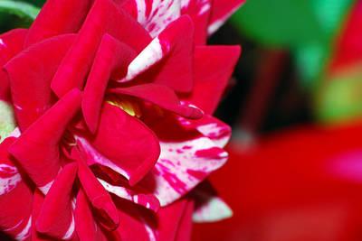 Photograph - Miniature Rose by Larah McElroy
