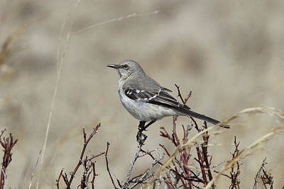 Photograph - Mockingbird Calverton New York by Bob Savage