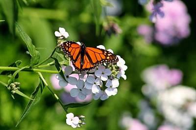 Butterfly Photograph - Monarch Butterfly by John Ohm