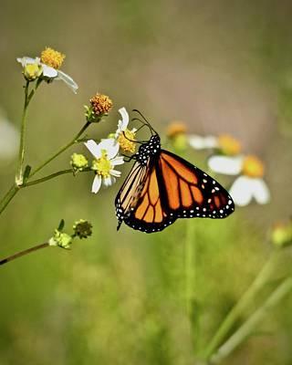 Photograph - Monarch by Carol Bradley