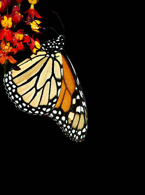 Photograph - Monarch by David Weeks