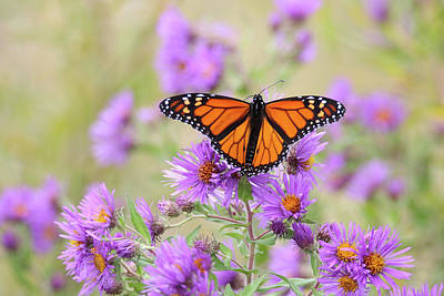 Photograph - Monarch On Aster by Brook Burling