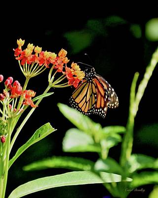 Photograph - Monarch On Milkweed by Carol Bradley