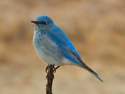 Photograph - Mountain Bluebird 3 by Dan Miller