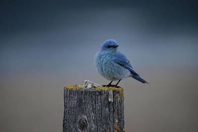 Mountain Bluebird 2 Art Print