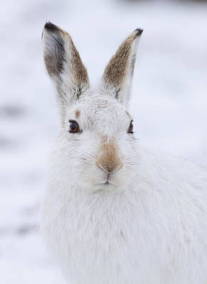 Photograph - Mountain Hare In The Snow - Lepus Timidus  #3 by Karen Van Der Zijden