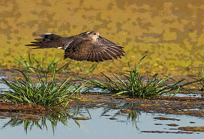 Photograph - Mourning Dove In Flight by Tam Ryan
