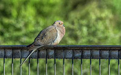 Photograph - Mourning Dove by Tam Ryan