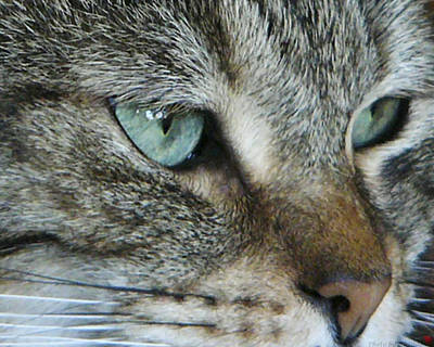 Photograph - Mr. Blue Eyes by Rhonda McDougall