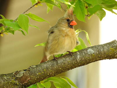 Photograph - Mrs. Cardinal by Betty-Anne McDonald