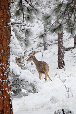 Animals Royalty-Free and Rights-Managed Images - Mule Deer in Heavy Snowfall by Steve Krull