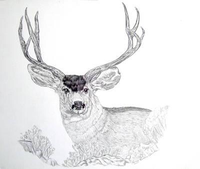 Mule Deer Drawing - Mule Deer by Nancy Rucker