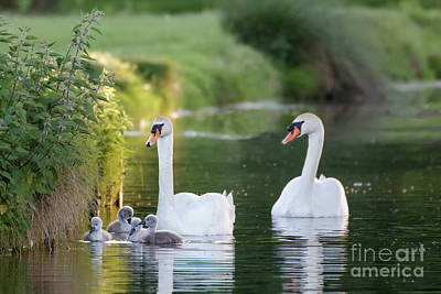 Mute Swan - Cygnus Olor - Adult And Cute Fluffy Baby Cygnets, Swim Art Print