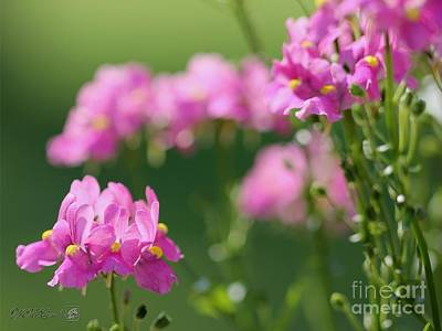 Photograph - Nemesia Named Compact Pink Innocence by J McCombie