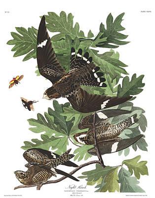 Night Hawk Wall Art - Painting - Night Hawk by John James Audubon