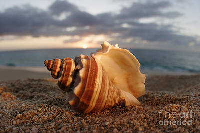 North Shore Seashell Art Print