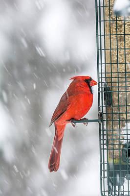 Photograph - Northern Cardinal  by Irwin Seidman