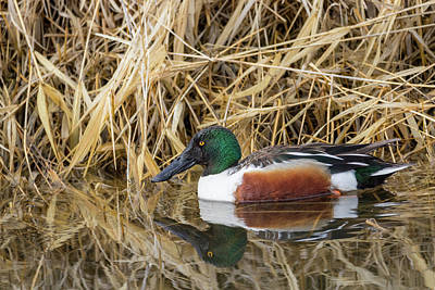 Photograph - Northern Shoveler by Michael Chatt