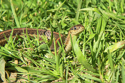 Garter Snake Photograph - Northwestern Garter Snake by Rich Leighton
