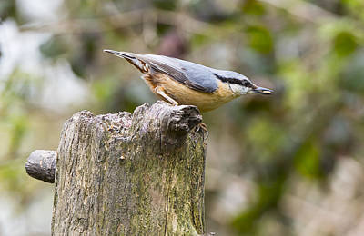 Photograph - Nuthatch by Steven Poulton